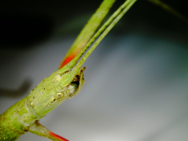 carausius morosus stick insect